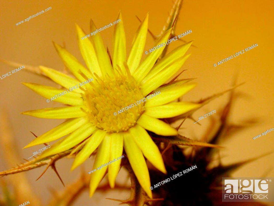 Stock Photo: Racemose Carlina (Carlina racemosa).