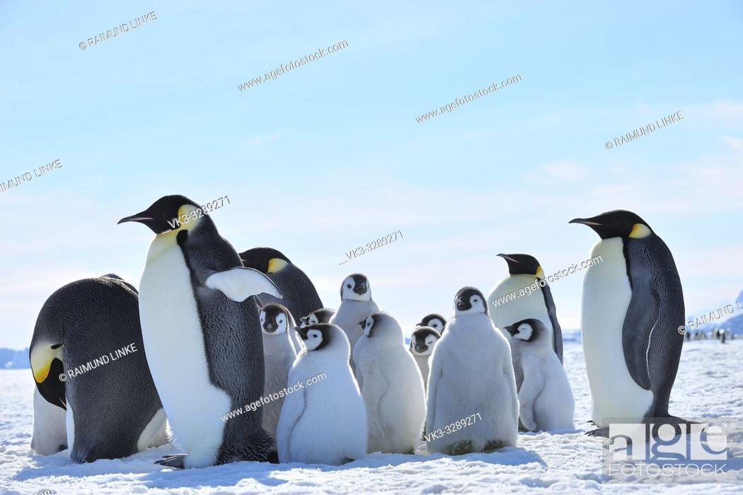 Stock Photo: Emperor penguins, Aptenodytes forsteri, Adults and Chicks, Snow Hill Island, Antartic Peninsula, Antarctica.