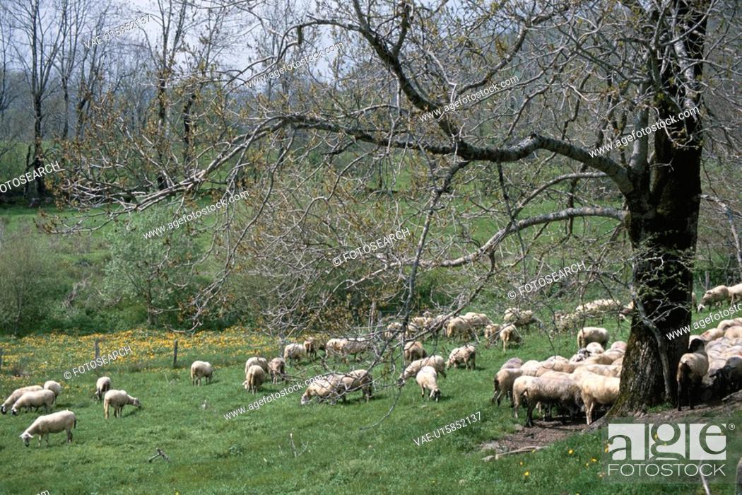 Stock Photo: Sheep In Britain.