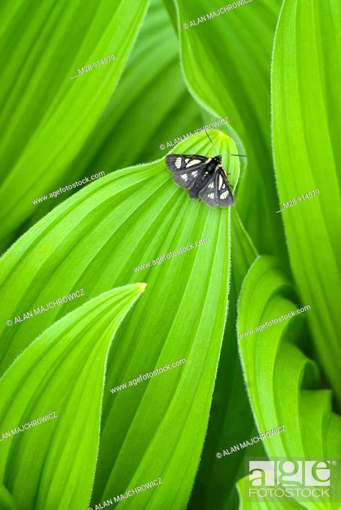 Stock Photo: False helebore/ Corn Lily Veratrum viride.