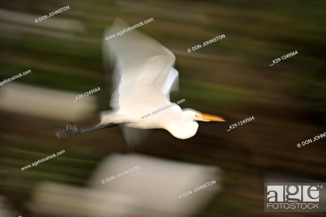 Stock Photo: Great egrets in flight at the Audubon Rookery, Venice- panning technique.