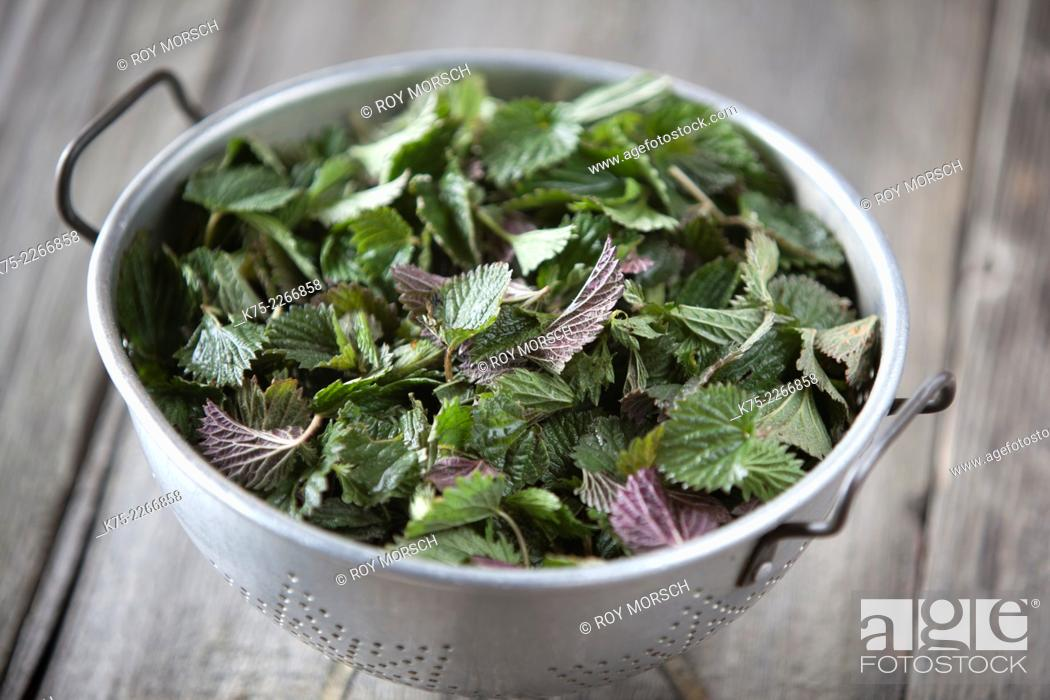 Stock Photo: Common nettle or stinging nettle Urtica dioica.