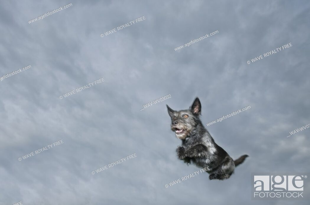 Stock Photo: Mixed breed dog leaping through air, Canada, Alberta.