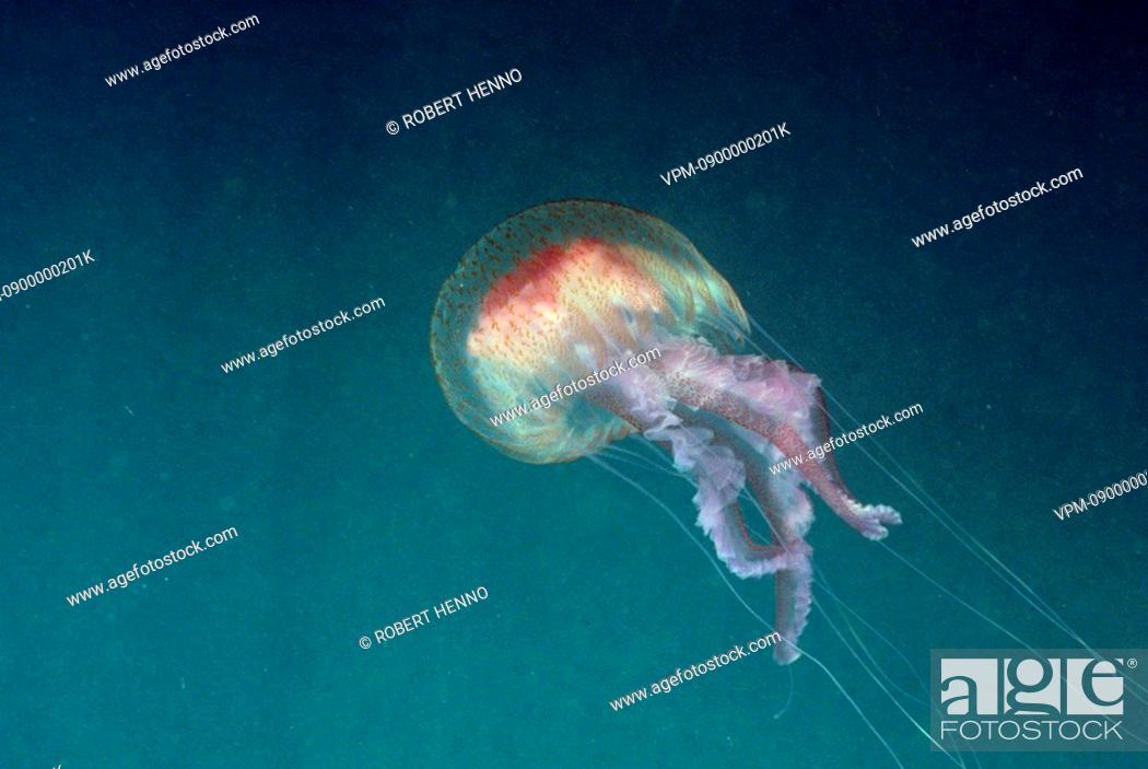 Stock Photo: PELAGIA NOCTICULAJELLYFISH - LUMINESCENT JELLYFISHMEDITERRANEAN SEA.