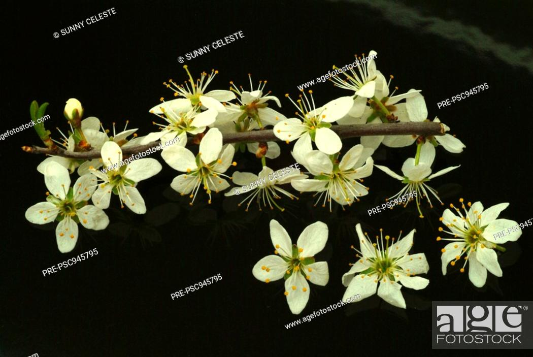 Stock Photo: blossoms of the Sloe, blackthorn, Prunus spinosa, Prugnolo,.