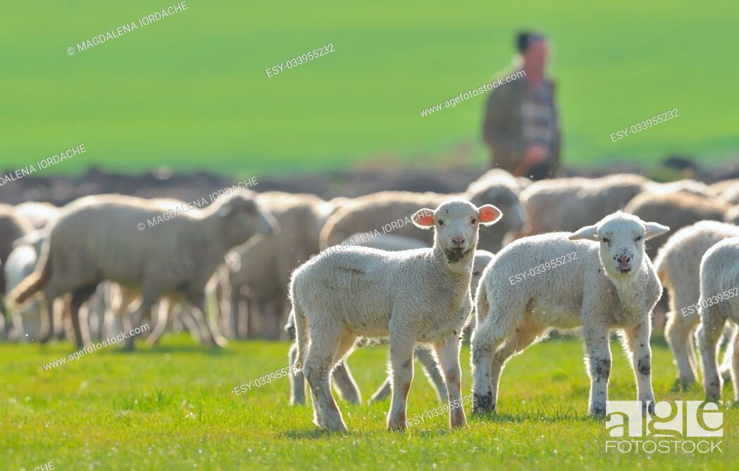 Stock Photo: Sheep and lambs in spring field.