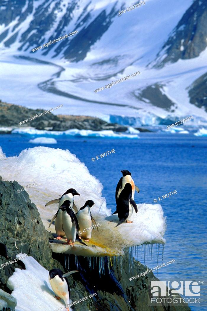 Stock Photo: adelie penguin Pygoscelis adeliae, group standing on ice formation, Antarctica, Hope Bay.
