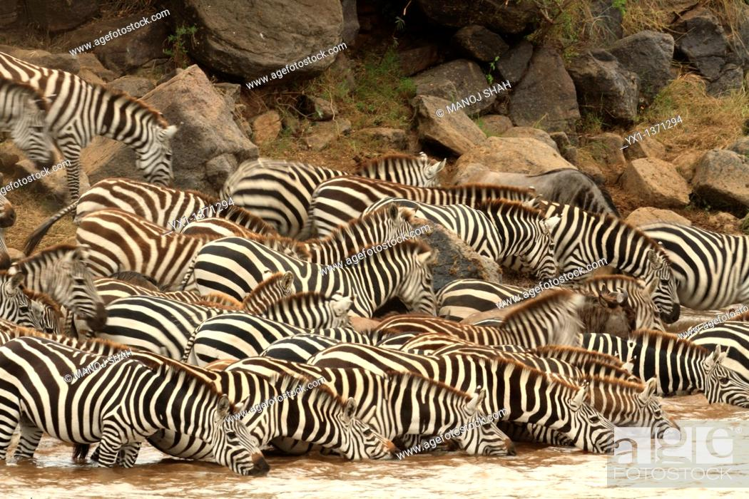 Stock Photo: Burchell's Zebra (Equus burchelli), Maasai Mara National Reserve, Kenya.