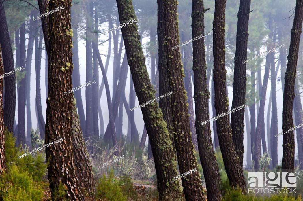 Stock Photo: Pine forest. Puebla de Don Rodrigo  Ciudad Real province, Spain.