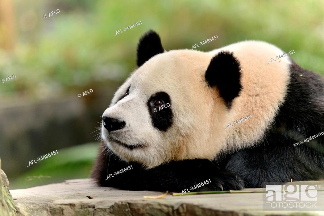Stock Photo: Giant Panda, China.