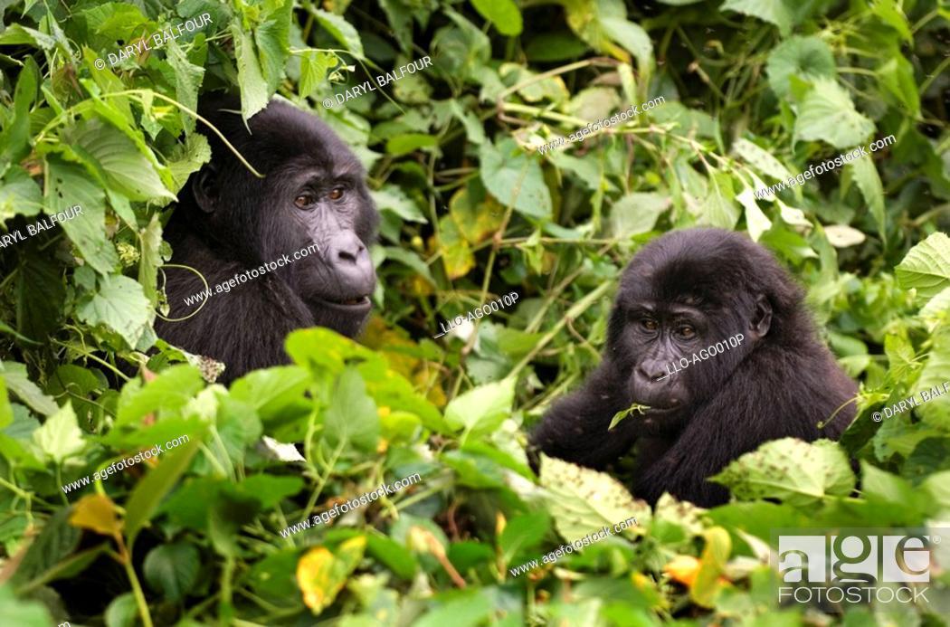 Stock Photo: Mountain Gorilla Gorilla beringei beringei Pair Sitting in Lush Green Forest Eating Leaves  Bwindi Forest, Uganda.