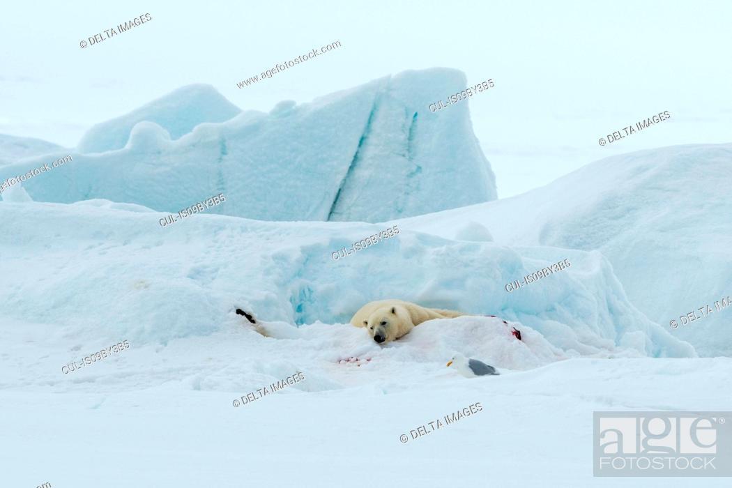 Photo de stock: Polar bear (Ursus maritimus) lying on snow covered ground, Vibebukta, Austfonna, Nordaustlandet, Svalbard, Norway.