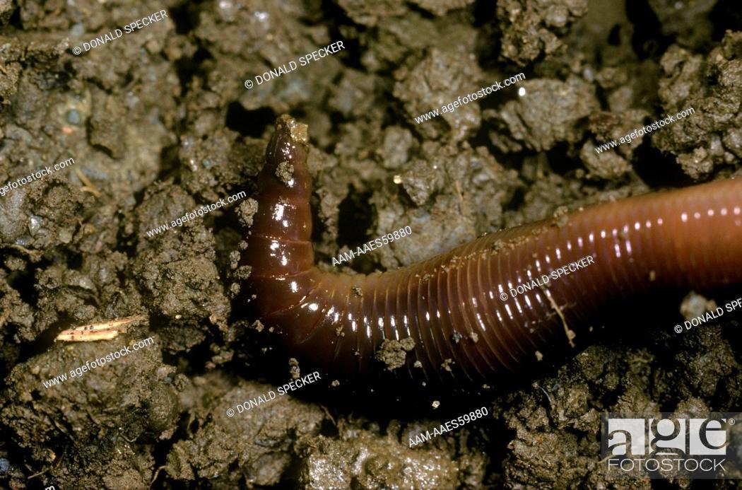 Earthworm (Lumbricus terrestris) Ithaca, NY, Foto de Stock, Imagen ...