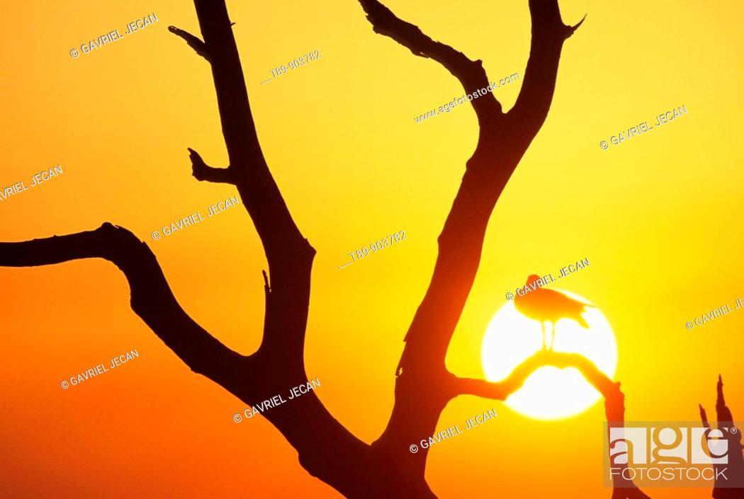Stock Photo: Egyptian Geese ona dry tree and sunset.