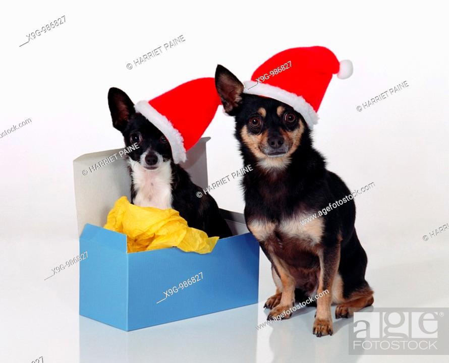 Stock Photo: Two dogs in Christmas hats.