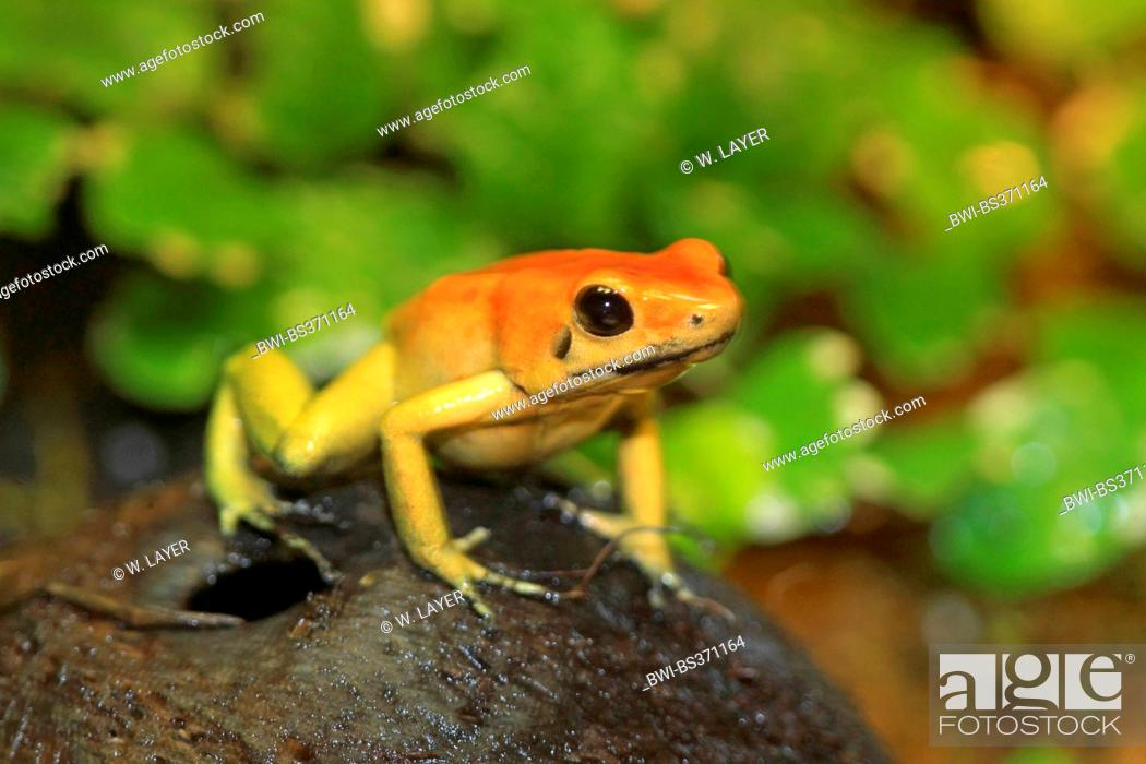 Black Legged Dart Frog Phyllobates Bicolor In Terrarium Stock