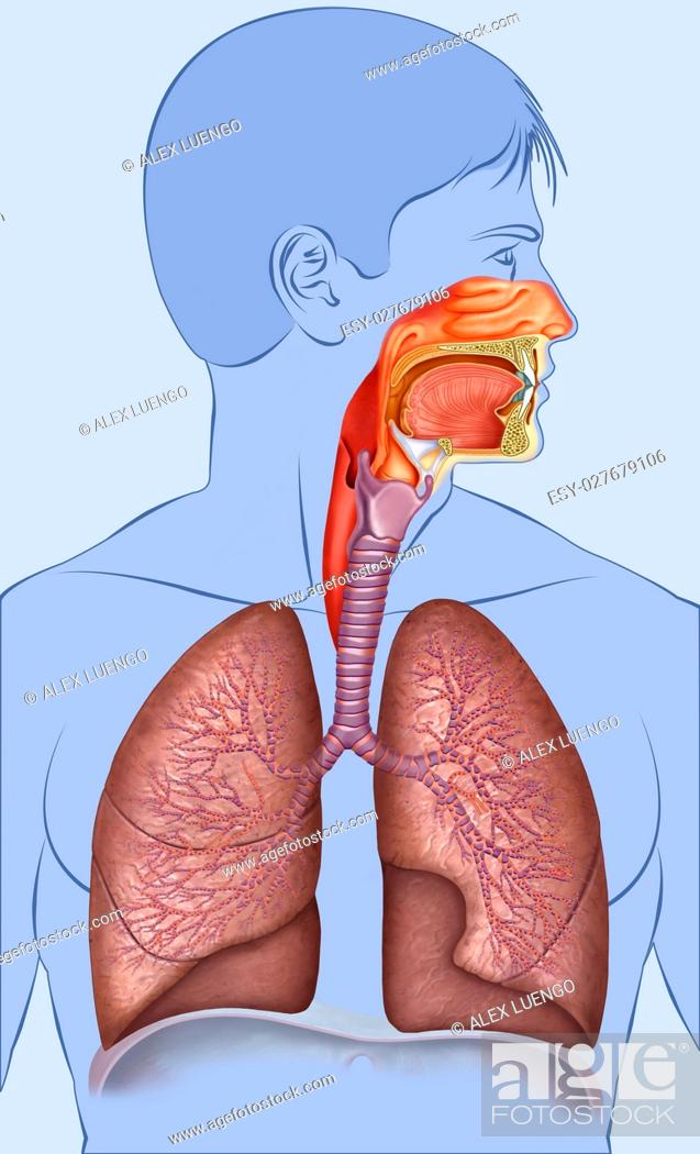 Stock Photo: Outline human respiratory system composed of human figure, lungs, traque and bronchi.