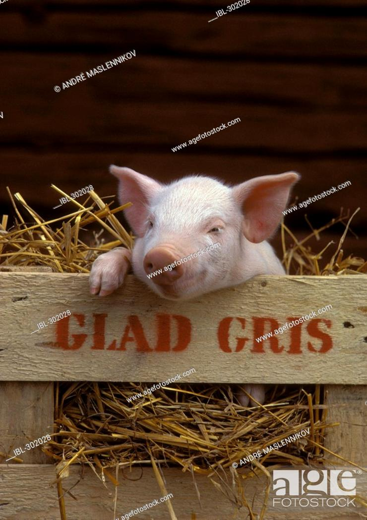 Stock Photo: Pig in box.