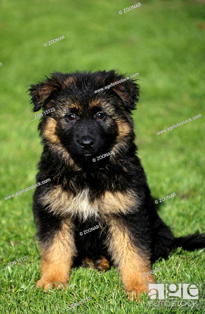 Deutscher Schaeferhund Welpe 8 Wochen Alt German Shepherd Alsatian Puppy Foto De Stock Imagen Derechos Protegidos Pic Zon 15123 Agefotostock