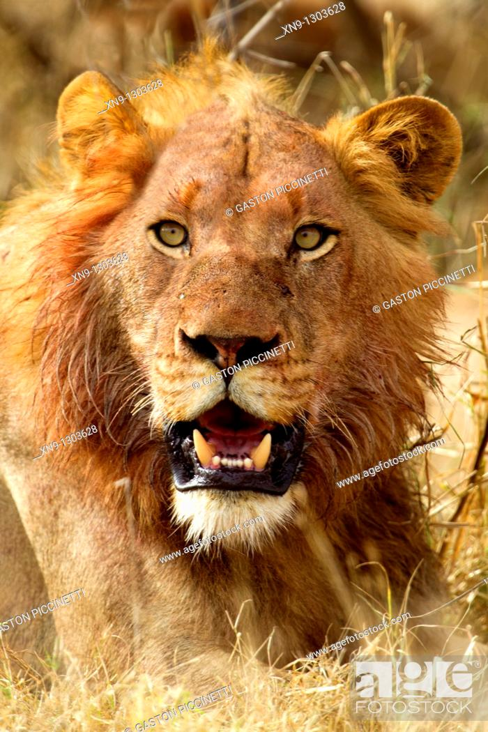 Stock Photo: African lion Panthera leo - Male, young, after eat, Kruger National Park, South Africa.