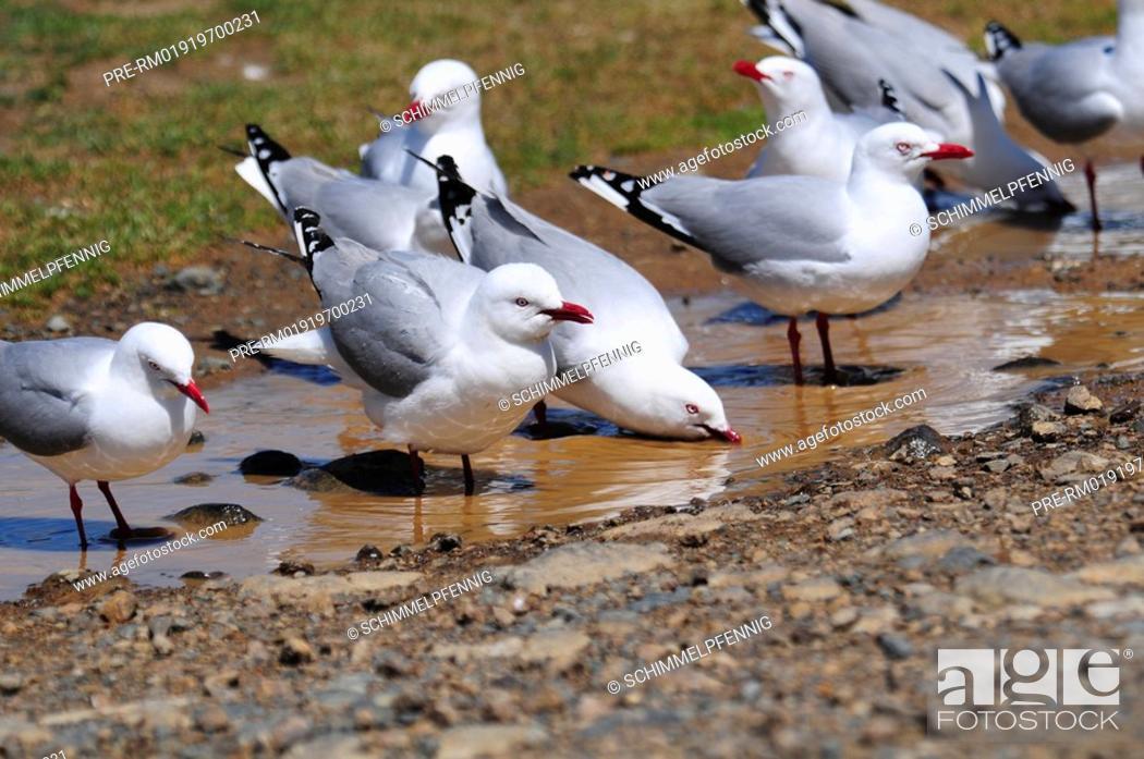 Stock Photo: Silver Gull, Larus novaehollandiae.