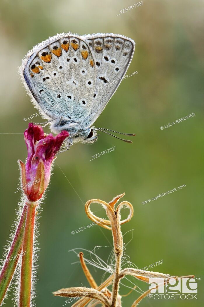 Stock Photo: Polyommatus icarus.