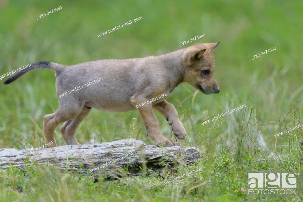 Photo de stock: Wolf, Canis lupus, young.