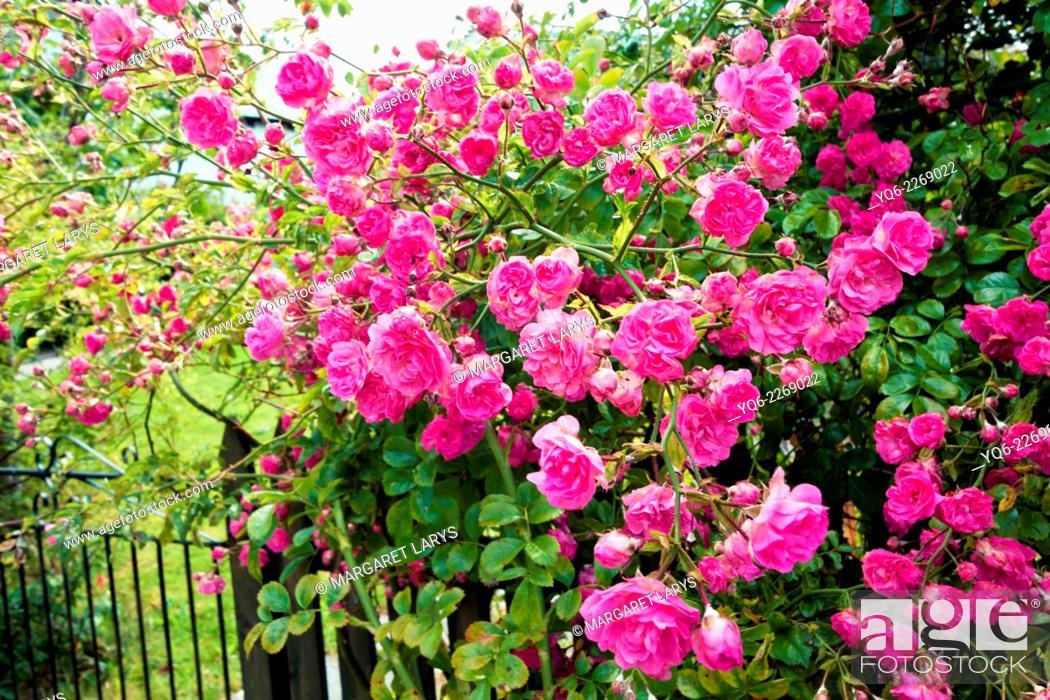 Stock Photo: Beautiful pink climbing roses, Scotland.