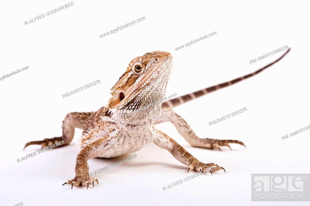 Stock Photo Bearded Dragon Central Pogona Vitticeps