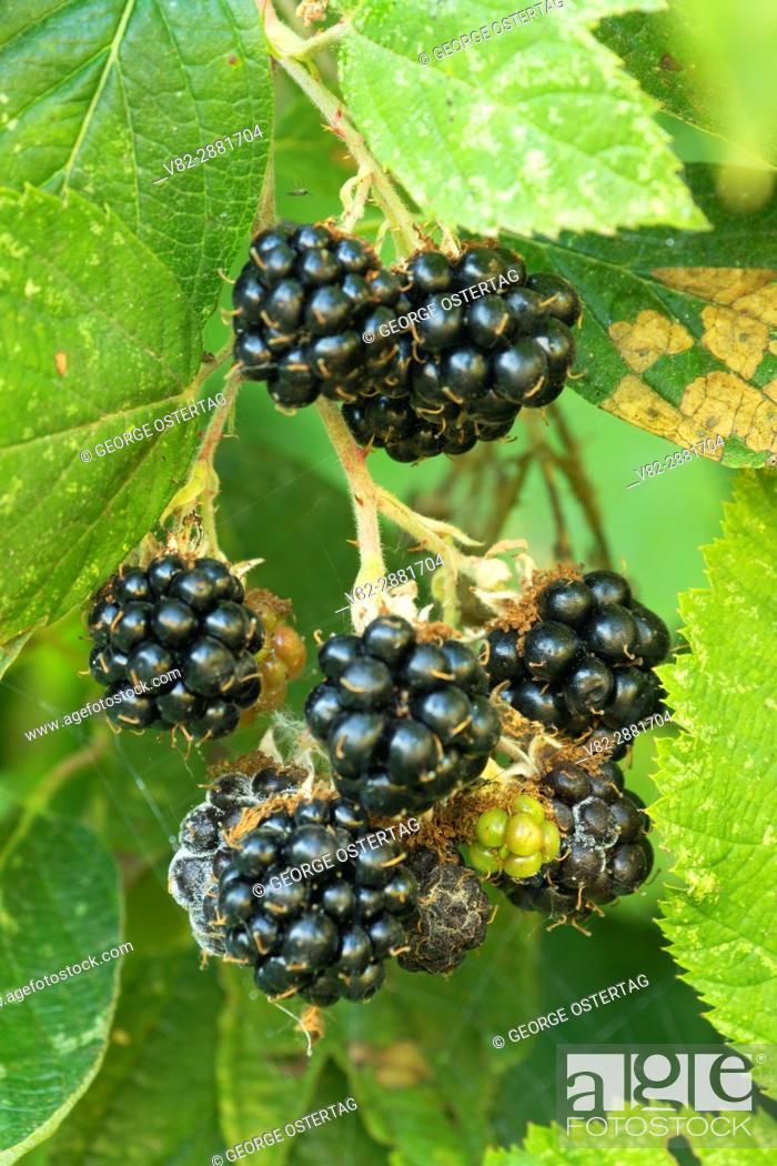 Stock Photo: Blackberries, Willamette Mission State Park, Oregon.