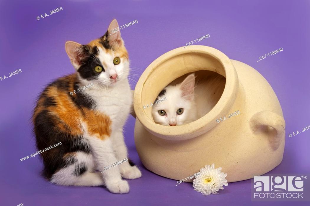 Photo de stock: Tortoishell Kittens in White Pot.