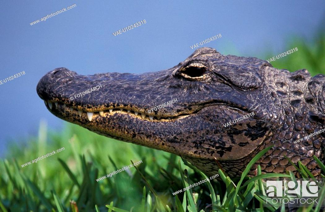 Stock Photo: alligatoren, animals, alligatoridae, alligator.