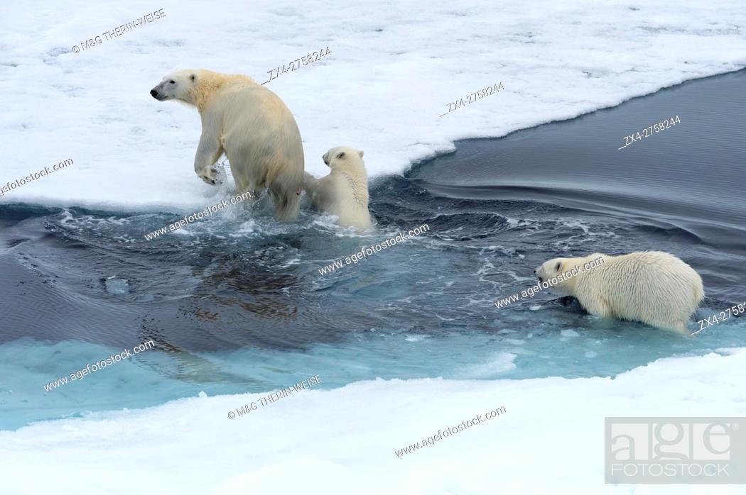 Stock Photo: Mother polar bear (Ursus maritimus) with two cubs swimming and jumping over an open ice floe, Spitsbergen Island, Svalbard archipelago, Norway, Europe.