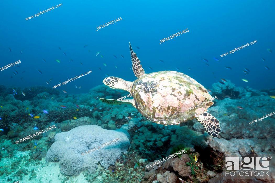 Stock Photo: Hawksbill Turtle, Eretmochelys imbricata, Candidasa, Bali, Indonesia.