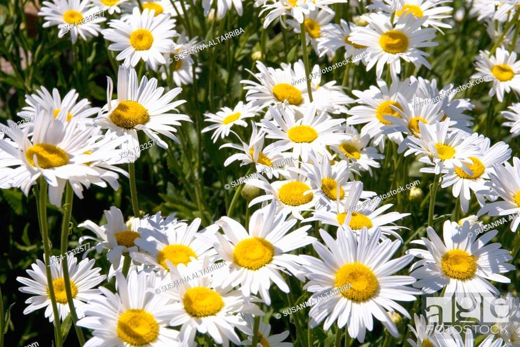 Stock Photo: Shasta Daisy Leucanthemum x superbum, Lleida, Catalonia, Spain.