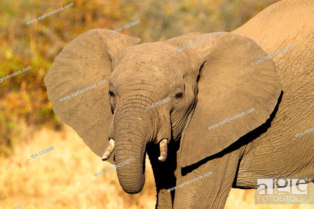 Stock Photo: African Elephant Loxodonta africana, Kruger National Park, South Africa.