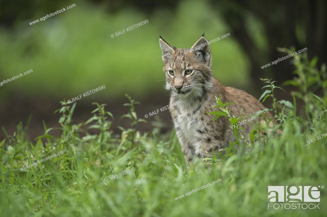 Stock Photo: Young Eurasian Lynx ( Lynx Lynx ) sits in high grass under bushes, Europe. . .