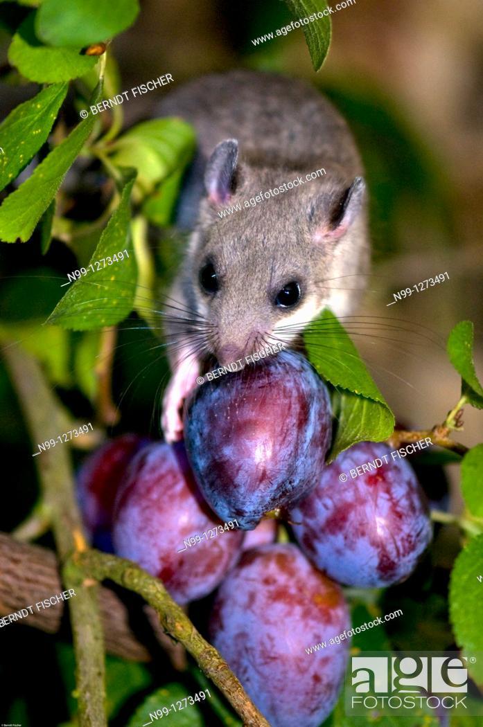 Stock Photo: Edible dormouse (Glis glis), feeding on plums, autumn, Bavaria, Germany.