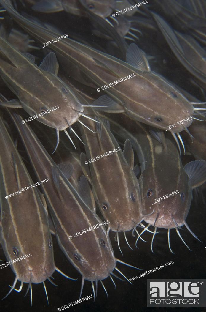 Stock Photo: School of Striped Catfish (Plotosus lineatus, Plotosidae family), Jetty dive site, Padangbai, near Candidasa, Bali, Indonesia.