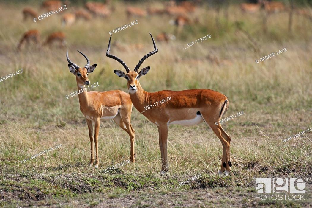 Imagen: Impala, aepyceros melampus, Males, Masai Mara park in Kenya.
