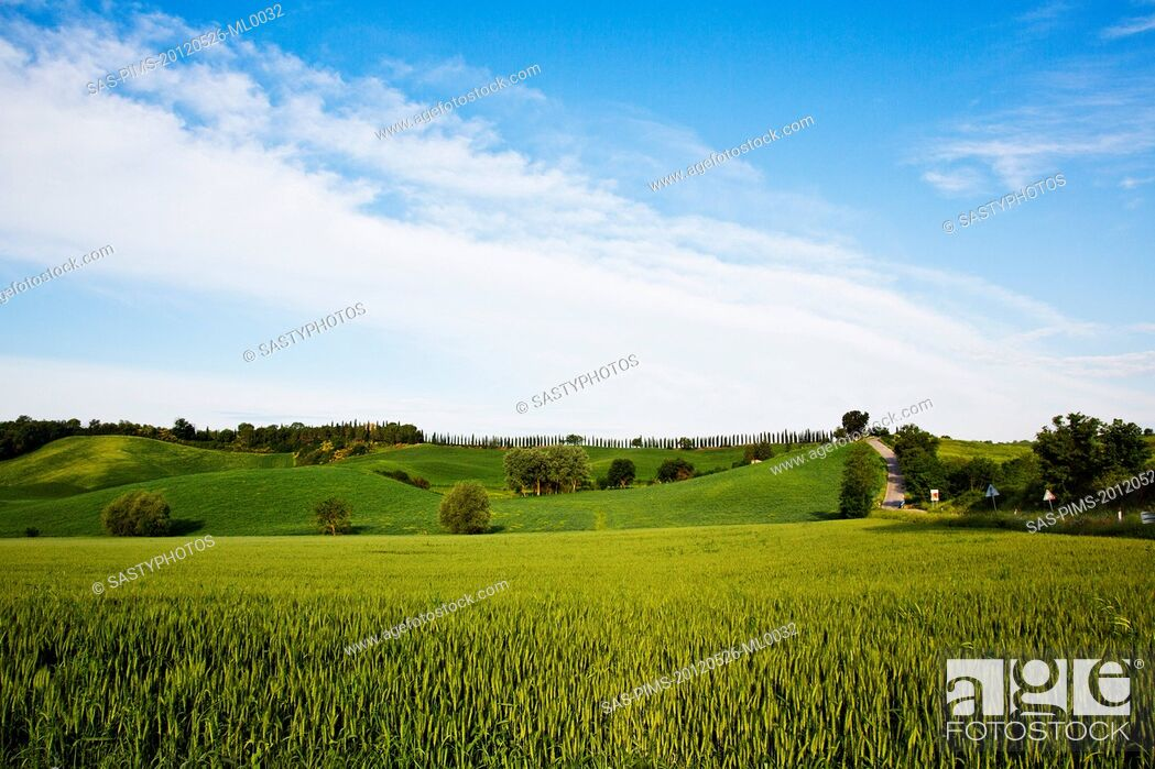 Stock Photo: Crop in a field, Siena, Siena Province, Tuscany, Italy.