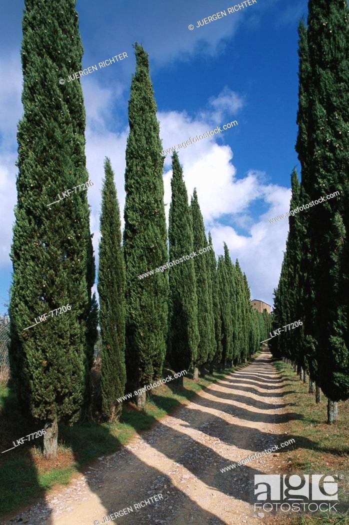Stock Photo: Cypress avenue near radda in Chianti, Chianti, Tuscany, Italy.