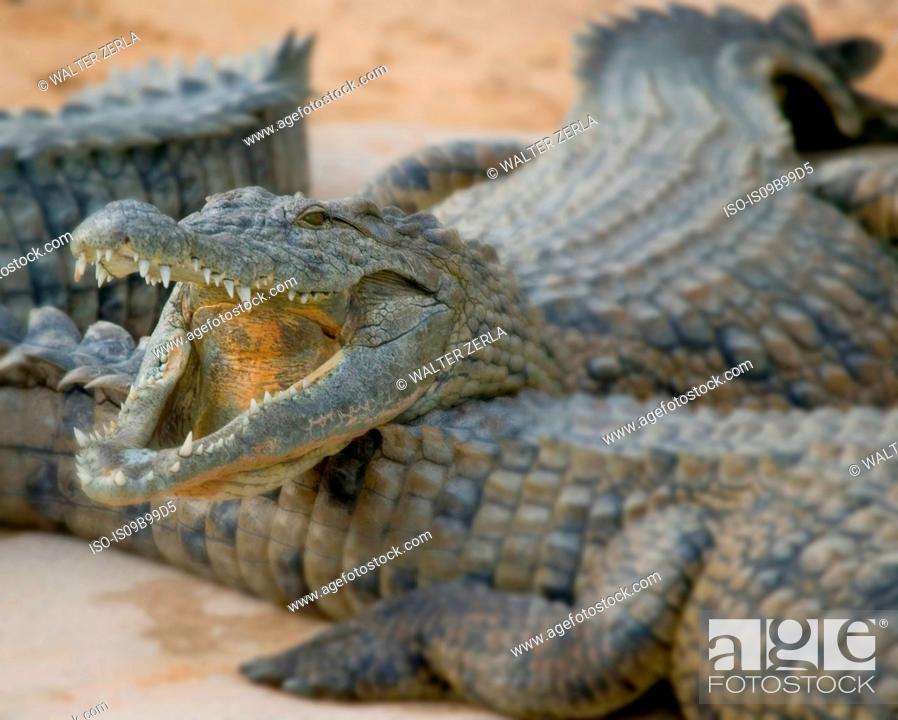 Stock Photo: Open mouthed crocodiles on wildlife park beach, Djerba, Tunisia.