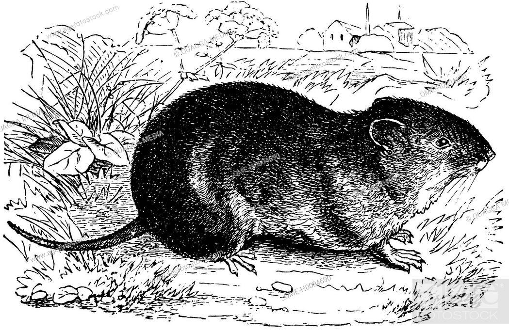 Stock Photo: Common vole.