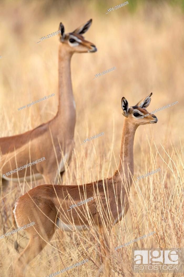 Stock Photo: Gerenuks (Litocranius walleri) in savannah, Samburu National Reserve, Kenya.