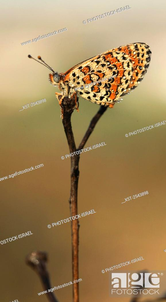 Stock Photo: Lesser Spotted Fritillary (Melitaea trivia) Butterfly Photographed in Israel, Spring May.