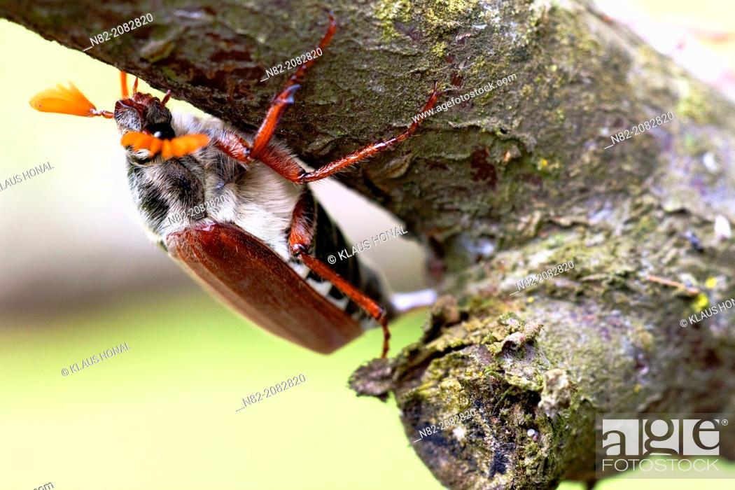 Photo de stock: Common cockchafer or maybug (Melolontha melolontha) on tree - Bobolice, West Pomeranian/Poland.
