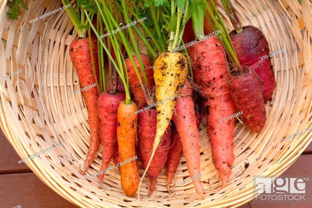 Stock Photo: A bunch of multi colored organic carrots in a basket.