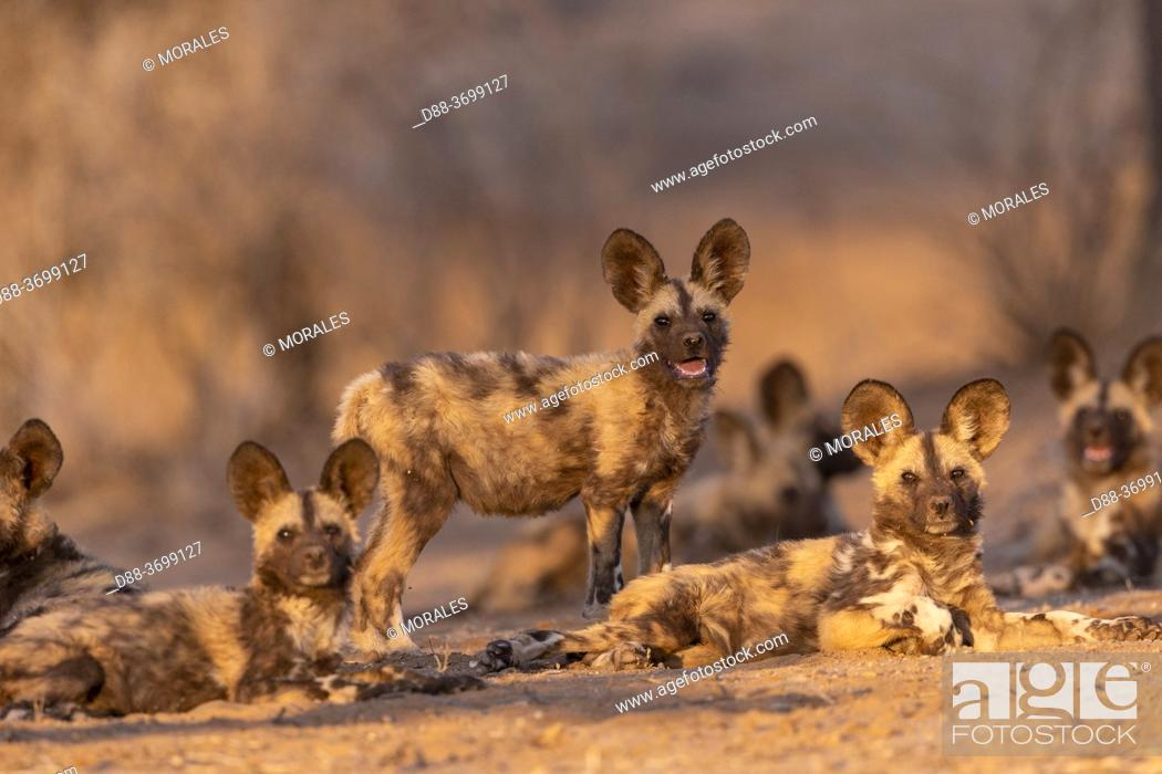 Photo de stock: Africa, Namibia, Private reserve, African wild dog or African hunting dog or African painted dog (Lycaon pictus), group of youngs, captive.