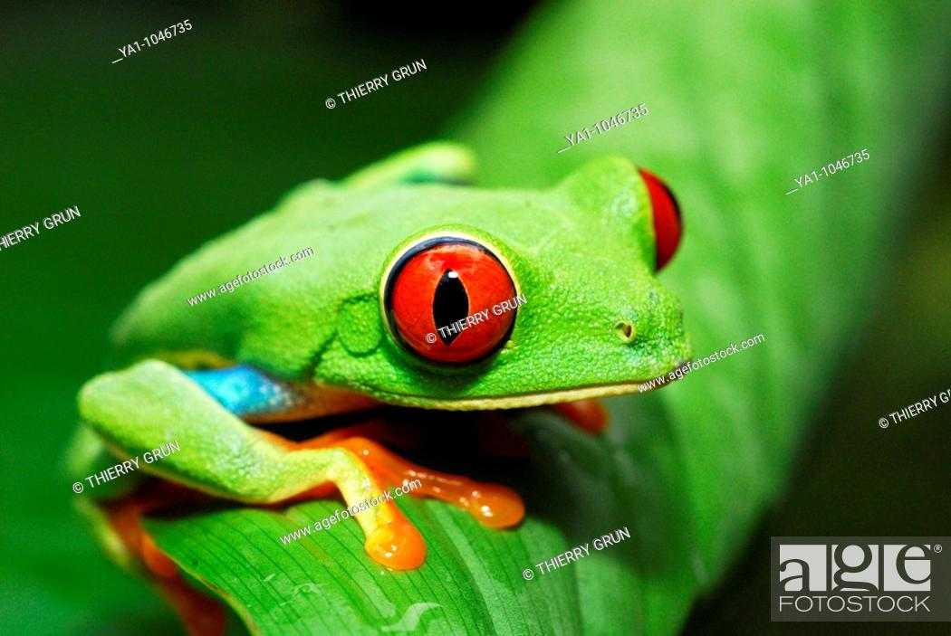 Stock Photo: Red eyed tree frog (Agalychnis callidryas) perched on a tree leaf. Tortuguero National park, Limon province, Costa Rica.